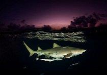 Bahamy: Žralok citronový