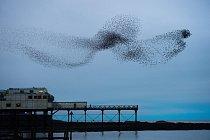 Každý večer od října do března vytvářejí špačci nad přístavním městem Aberystwyth obdivuhodné formace.