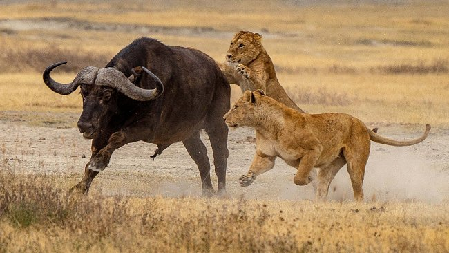 Lví mláďata zaútočila na osamoceného buvola...