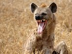BBC: Hyeny lidožrouti