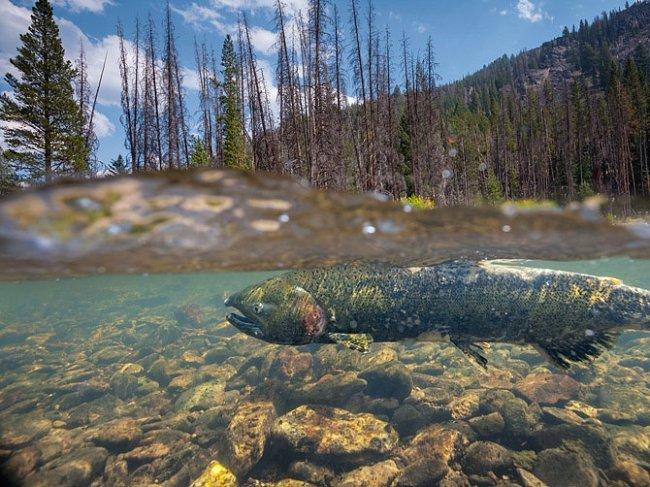 Losos čavyča se tře vpřítoku řeky Salmon. Mrtvé borovice lemují břehy. Stromy jsou pro ohrožené lososy důležité: zpomalováním tání sněhu udržují studenou vodu ve vodních tocích během jara a omezují tvorbu usazenin.