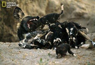 Psi hyenovití nejsou jen vražedné bestie