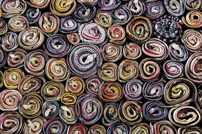 Na jatkách v indonéské Kertasuře jsou mrtví hadi nejdříve stočeni a pak se prodávají na jídlo či pro tradiční medicínu. Vesničané tyto plazy loví, aby si přivydělali, při čemž zásobují světový trh s hady, ve kterém se točí miliardy dolarů.