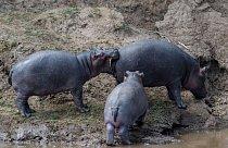 Hroch v keňské rezervaci Maasai Mara si chce ukousnout víc, než dokáže spolknout.