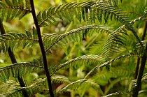 Kapradina (Dicksonia selloviana) roste v Jižní Americe