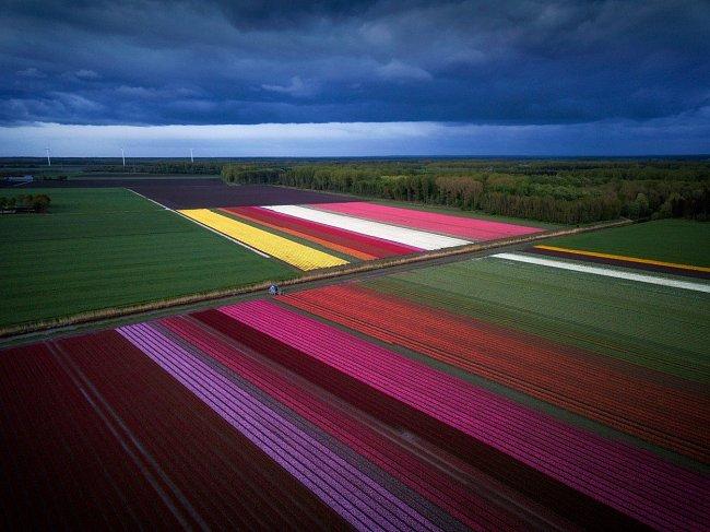 Dnes patří mezi největší exportéry těchto květin na světě. Tulipány se pěstují především v provincii Severní Holandsko, v tzv. Bollenstreeku, kde je pro ně příhodné klima i půda.