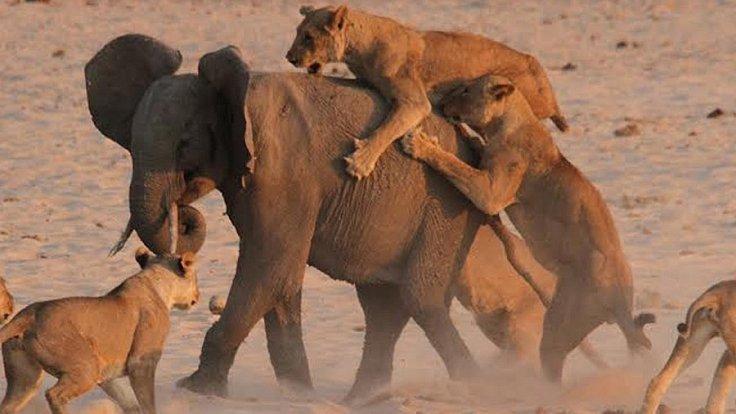 Slůně napadené tlupou lvů