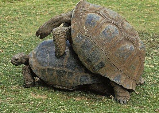 Romeo a Julie pravěku: Želvy, které zemřely při aktu lásky. Před 47 miliony lety