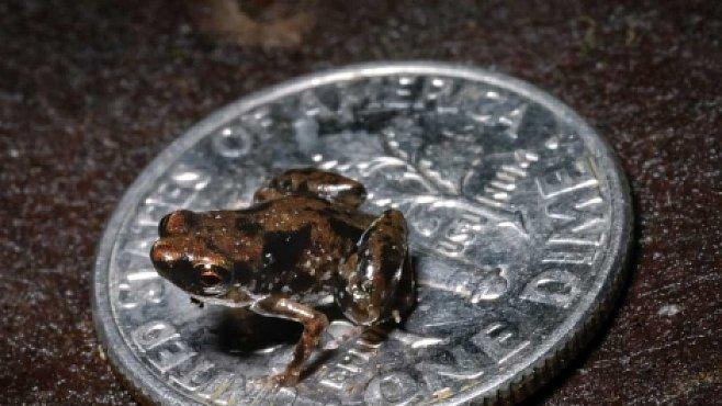 Nejmenší žába světa měří jen 7 milimetrů
