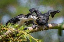 Mláďata kormoránů jsou ve venkovní voliéře krmena rodiči.