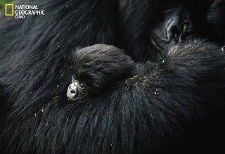 Opičí láska? Gorilí něha!