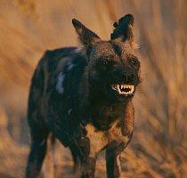 Divoký pes v Africe. Loví ve smečkách a většinou až po setmění.