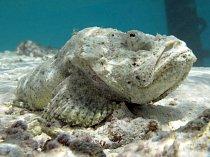 Ropušnice ďábelská (Maledivy) je ďábelsky rafinovaná, říká se jí také stonefish (kamenná ryba)...