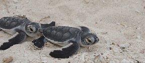 Už po 48 hodinách totiž ztrácí želvička v bazénku instinkt, kam má v moři plavat.