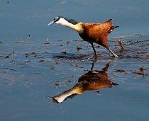 Ostnák africký vodu miluje – loví zde potravu, staví plovoucí hnízda a má dokonce voděodolná vejce.