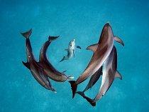 V průzračné vodě na sever od Baham plave hejno delfínů. Zdejší populace delfínu, její tři generace s celkem přibližně třemi sty jedinců, byla 30 let předmětem studia pod vedením Denise Herzingové.