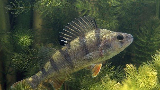 Stopy léků proti úzkosti mění v řekách způsob chování ryb