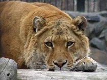 """Samice ligera se jménem Lyra v novosibiřské zoo. Ochránci zvířat, a nejen ti, křížení druhů \""""jen pro zábavu\"""" z mnoha důvodů kritizují"""