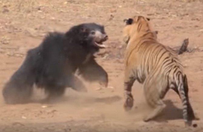 Souboj tygra s medvědicí