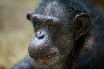 Šimpanzici Coco je kolem 60 let. V přírodě by se dožila sotva 40 let. Zdroj: Oregon Zoo