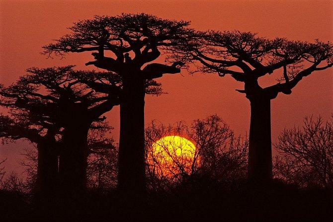 Baobab dokáže uvnitř kmene zadržovat velké množství vody (až 100 litrů), čehož často využívají sloni, kteří z nich pijí..