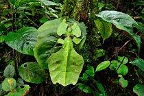 Lupenitka, která patří do skupiny tropického hmyzu patřících do řádu strašilek, na listu v lese v oblasti západní Malajsie.