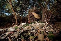 Lemčík velký v australském Queenslandu si zdobí hnízdo skleněnými střepy, úlomky plastových hraček a dalšími odpadky.