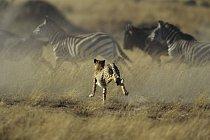 Mohou běžet rychlostí až 55 km/h a jsou vytrvalejšími běžci než kůň.