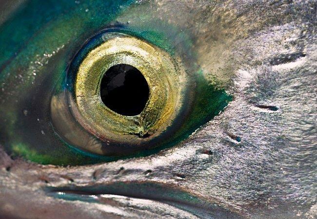 Losos je dravec. Navíc velmi mrštný a vytrvalý - během migrace urazí až 4000 km a překonat bariéry, které jsou až 3 metry vysoké. Více než na oči se však spoléhá na svůj extrémně vyvinutý čich, díky němuž dokáže rozpoznat látky obsažené ve vodě.