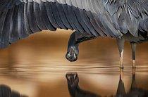 Snímek volavky popelavé v Maďarsku vyhrál druhou cenu v kategorii zaměření na detail.