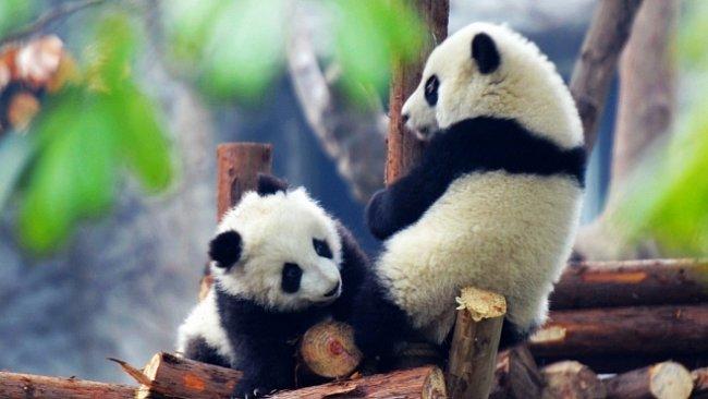 Pandy ON-LINE: Sledujte tři batolata přímo z Číny