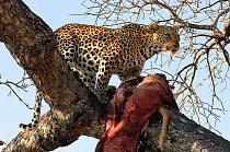 Za potravu slouží levhartům celá řada živočichů. Nejčastěji se jeho kořistí stávají menší a střední druhy antilop a gazel, mláďata větších kopytníků, různé druhy jelenů, divoká prasata a tam, kde spol