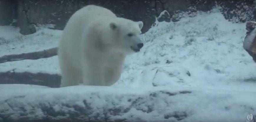 Lední medvědice Nora z oregonské ZOO si sníh naplno užívá.