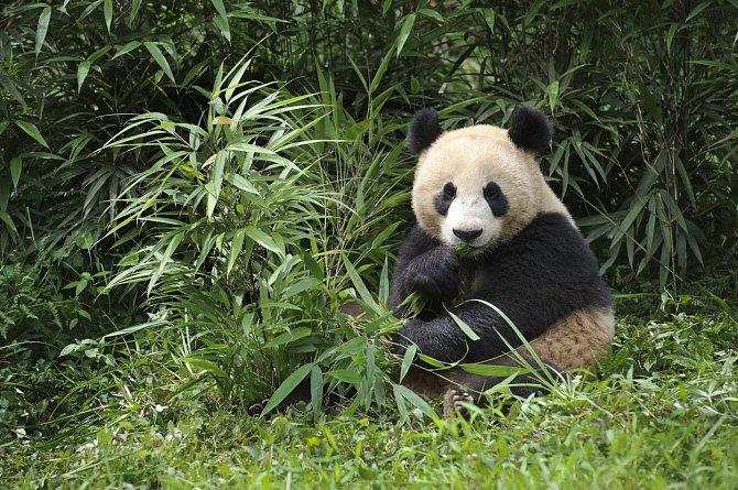 Panda velká patří k zranitelným druhům - nebezpečí se zvyšuje s postupujícím narušováním jejích přirozených lokalit a velmi slabou porodností.