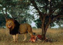 Samec lva hlídá zbytky své kořisti.