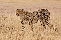 Stavbou těla se gepardi podobají chrtům