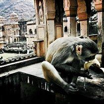 Chrámy, pavilony a svaté nádrže slouží jako útočiště i koupaliště pro místní opice hulmany, které jsou zasvěcené opičímu bohu Hanumanovi.