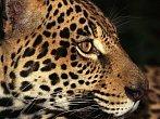 BBC: Tajemní jaguáři
