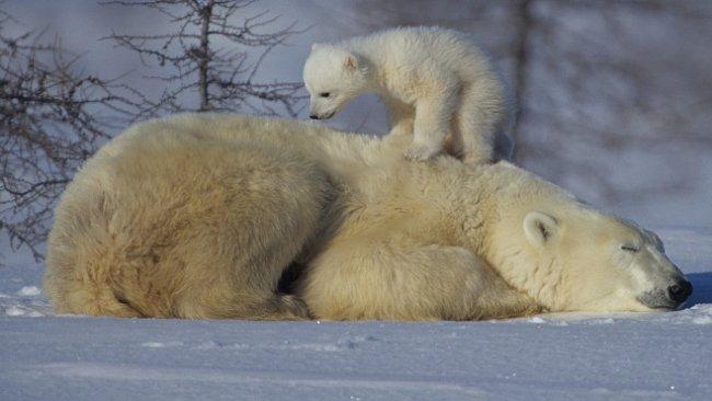 VIDEO: Medvědi bojují o život. Exkluzivní záběry grizzlyho, baribala nebo ledního medvěda