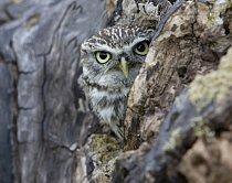 Úkryty ve stromech vyhledávají především ptáci. Na fotografii je sýček obecný.