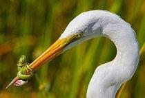 Na fotografii z kategorie chování ptáků zápasí volavka bílá se zeleným hadem ve floridském parku Everglades.