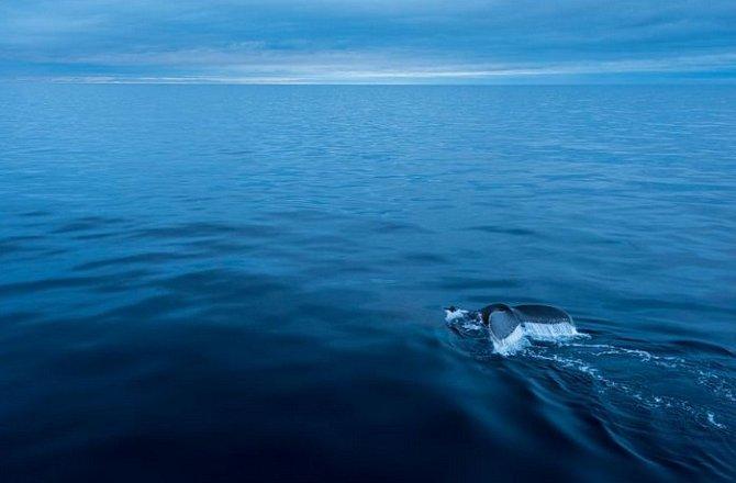 """Keporkaci (na fotografii je keporkak poblíž Antarktidy) skučí, vyjí, křičí a vydávají různé jiné složité zvuky, které mohou trvat celé hodiny. Jejich """"písně"""" proslavilo album Songs of the Keporkak Whale, vydané vroce 1979."""
