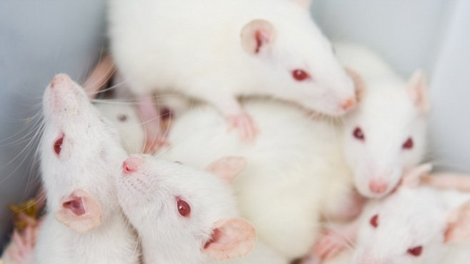 Myší nymfomanky v překvapivém genetickém experimentu ukázaly zajímavé souvislosti