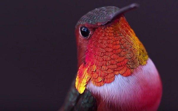 V současné době známe až 340 druhů kolibříků.