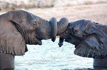 Zde je zachycen sloní polibek v africké Botswaně.