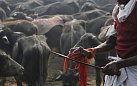 Počet obětovaných zvířat se oproti roku 2009 díky restrikcím vlády snížil o 75%.
