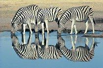 Zebra se dožívá 30 až 40 let.