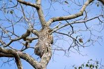 Potu velký, který se z našich ptáků nejvíc podobá lelkovi, není na stromě v Brazílii skoro vidět.