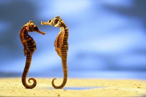 Reprodukční proces začíná společným plaváním, tancem a proplétáním ocasů. Na konci několikahodinových námluv samička naklade svá vajíčka do vaku samečka.