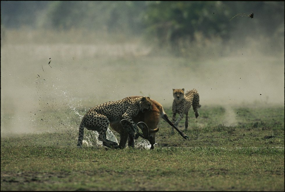 Antilopa vs. gepardi II